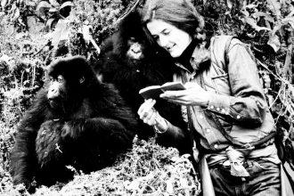 La primatologa americana Dian Fossey nella foresta coi gorilla di montagna del Ruanda per La compagnia degli uomini