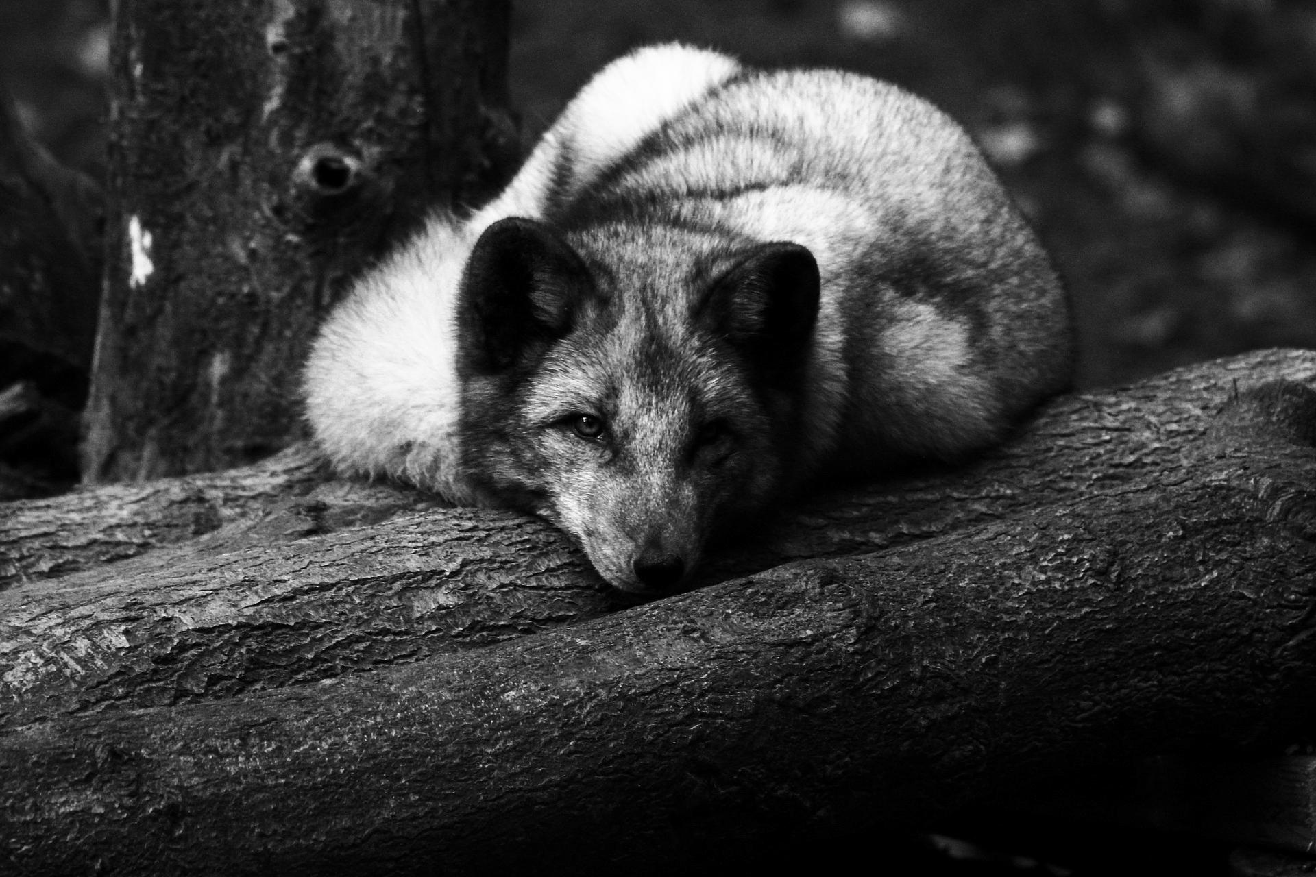 Varietà melanica scura di Vulpes vulpes