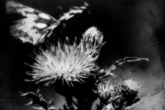 Farfalla su cardo ph.Anna Laviosa 2017