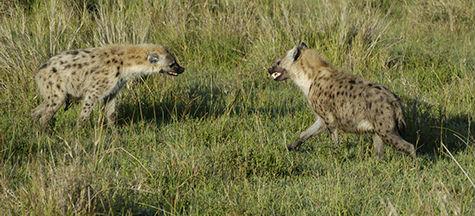 immagine articolo biologia - combattimento ritualizzato tra due iene maculate (crocuta crocuta)
