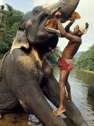 Gilbert. Grosvenor, Ceylon (1965) - Un Mahout lava i denti al suo elefante