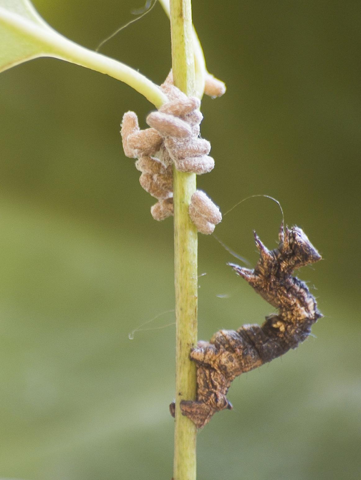 Bruco di Thyrinteina Ieucocerae difende le larve di Glyptapanteles