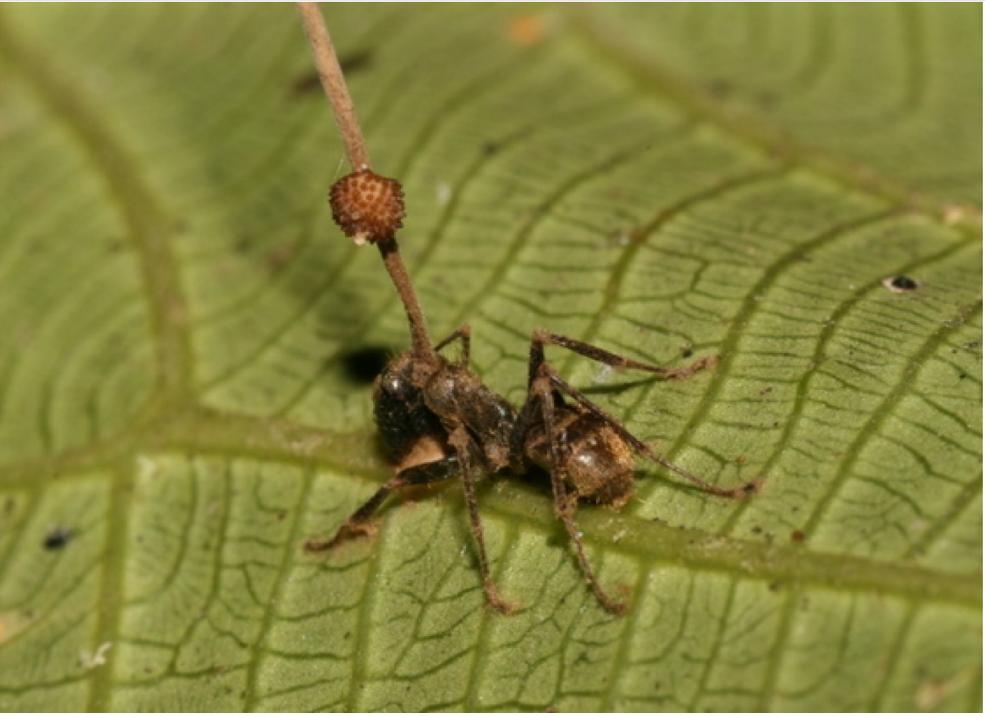Corpi fruttiferi di Ophiocordyceps unilateralis emergono da una formica parassitata.
