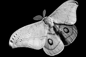 Emperor Gum Moth Fir0002 at English Wikipedia - Adapted (background edited) from FilePolyphemus moth.jpg (Own work CC BY-SA)