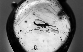 Zanzara imprigionata nell'ambra