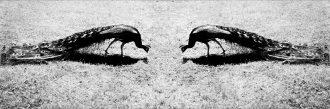 Peacocks' Eyes ph. Anna Laviosa 2013